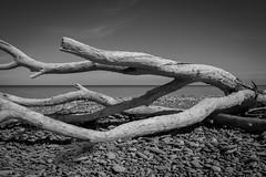 Driftwood (capturethatg) Tags: blackandwhite driftwood