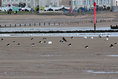 Sea Birds (NTG's pictures) Tags: sea shells cormorants bay harbour gulls pebbles bae rhyl oystercatchers kinmel cinmel