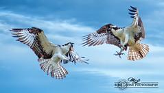 DSC_3909 (mikeyasp) Tags: nature birds outdoors inflight everglades fighting aggressive raptors avian pandionhaliaetus ospreys talons confrontation