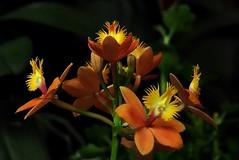 Window Box Tiny Orchids (steveartist) Tags: blackbackground orchids bokeh blooms stevefrenkel smallorchids phototoaster sonydscrx100 sonnydigitalcameras