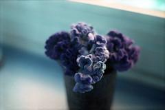 film (La fille renne) Tags: flowers blue film home analog 35mm lomography bokeh grain indoor 50mmf18 zenite lomochrome lafillerenne lomochrometurquoise lomochrometurquoisexr100400