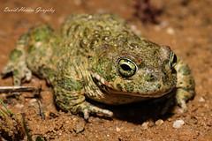 Bufo calamita male (David Herrero Glez.) Tags: madrid toad sapo herpetology bufo calamita natterjack
