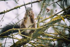 Yummy! (freyavev) Tags: tree cute germany deutschland squirrel branch eichhörnchen bushytail brownsquirrel veverica animaleating badenwürttenberg korntal
