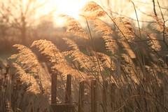 Dans les roseaux (Philis.Nat) Tags: vent soleil lumire coucher roseaux