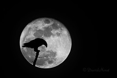 Night Watch (david.horst.7) Tags: blackandwhite bw moon bird silhouette night eagle