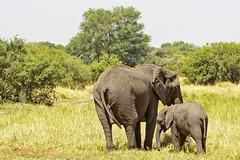 african bush elephant15 (loxodonta africana) (Colin Pacitti) Tags: elephant outdoor ngc npc wildanimal herbivore loxodontaafricana coth africanbushelephant motherandcalf elephantcalf femaleelephant fantasticwildlife coth5 hennysanimals sunrays5