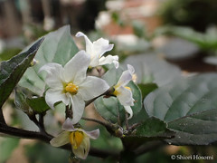 Solanum ptychanthum (Shiori Hosomi) Tags: flowers plants japan tokyo february   solanum 2016 solanaceae  solanales   23