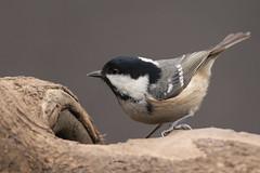 Coal tit (Mister Oy) Tags: bird nature wildlife 300mm penningtonflash d800 davegreen greenheart nikon300mmf4afs nikond800 buntinghide oyphotos oyphotos
