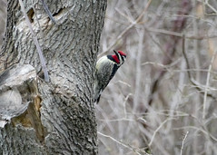 Welcome Visitor (hmthelords) Tags: trees ny newyork nature beauty birds woodpecker outdoor upstateny yellowbelliedsapsucker wildbird
