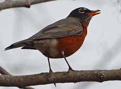 Robin is back (ctberney) Tags: bird americanrobin migrant returned turdusmigratorius signofspring