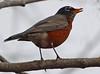 Robin is back (ctberney) Tags: bird americanrobin migrant returned turdusmigratorius signofspring