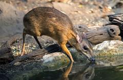 IMG_0038 Mouse Deer (suebmtl) Tags: wild reflections thailand mammal asia drinking shy deer jungle delicate waterhole thirsty smallest mousedeer chevrotain kaengkrachannationalpark tragulidae