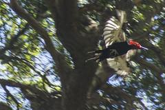 magellanicus (pepiamodeo) Tags: viaje birds forest árboles aves carpinterogigante campephilusmagellanicus magellanicwoodpecker coihues bosqueandinopatagónico pepiamodeo enero2016 belénvázquez