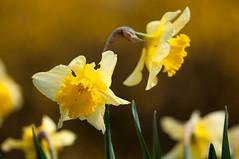 Rotterdam 10-04-2016 SM-11 (Pure Natural Ingredients) Tags: park flowers holland garden spring nikon nederland thenetherlands sigma f28 bloemen euromast zuid 105mm niceweather voorjaar schoonoord d90 cmwdyellow botanicbotanishetuin