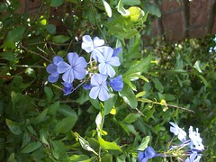 Plumbago flowers (onlineplantexchange.com) Tags: flowers plumbago