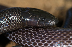 Amblyodipsas polylepis - Common Purple Gloss Snake. From St Lucia, Kwa-Zulu Natal. Venomous. (Tyrone Ping) Tags: stlucia polylepis 100mmmacrof28 amblyodipsas canon7d southafricanreptiles snakesofsouthafrica commonpurpleglosssnakehluhluwe