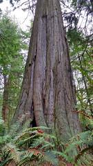 SouthWhidbeySP_GiantCedar_resize (EnduroDoug) Tags: beach hiking whidbeyisland oldgrowth cedartree