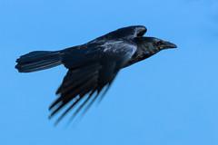 Flug der Krhe (ChJ Pics) Tags: vgel krhe flug corvus rabenvogel vogelflug
