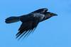 Flug der Krähe (ChJ Pics) Tags: vögel krähe flug corvus rabenvogel vogelflug