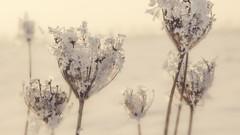 Solstice (Sylvain Dorais) Tags: winter fleurs plante hiver creme neige paysage blanc herbe nikond7000