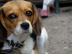 """Penelope"" (Marco San Martin) Tags: dog cute beagle dogs beautiful look animal animals eyes perro ojos mirada perrito doglovers beagledog marcosanmartin"