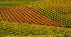 Carpet the hills with vines... (dmunro100) Tags: autumn colour fall carpet vineyard vines seasons wine hills winery grapes adelaide southaustralia adelaidehills