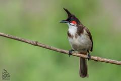 Red-whiskered Bulbul (Saeed Lajami) Tags: india birds canon wildlife karnataka in redwhiskeredbulbul bengaluru