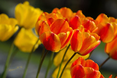 Tulips on a sunny afternoon - Spring 2016 (Wilma v H - thanks for lovely feedback and faves!!) Tags: flowers netherlands dutch closeup dof tulips nederland dordrecht springflowers tulpen zuidholland redandyellowtulips canoneos60d springscenics begraafplaatsdeessenhof essenhofcemetery spring2016