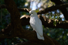 Sulphur-crested Cockatoo (Byron Taylor) Tags: nature birds canon wildlife sydney parrot australia southpacific nsw cockatoo sulphurcrestedcockatoo australiasia canon7d