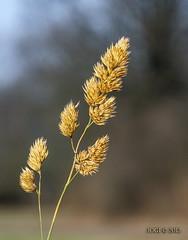 "An der ""Weien Elster"", trockenes Gras (joergpeterjunk) Tags: bokeh outdoor pflanze himmel gras schrfentiefe abendlicht tiefenschrfe canonefs1785mmf456isusm auwald canoneos50d"