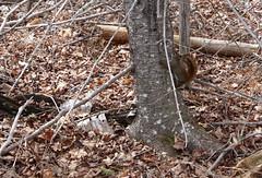 Red Squirrel (Erica Robyn) Tags: red england nature animal squirrel maine islesboro islesboromaine
