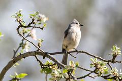 Tufted Titmouse (flying cats (AKA Penny Carlson)) Tags: flowers tree bird apple newjersey sony nj flowering tamron tuftedtitmouse hunterdon 150600mm a7rii