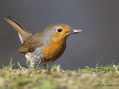 robbing robin (blackfox wildlife and nature imaging) Tags: canon 350d wildlife wirral rspb 400mmf56 burtonmerewetlands