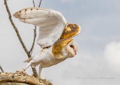 Barn owl (cbjphoto) Tags: arizona bird museum barn photography inflight desert wildlife raptor owl predator avian birdofprey carljackson