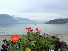 Annecy, France (Ondine B.) Tags: lake france alps flores flower annecy fleur alpes lago spring flor lac alpen savoie printemps prim lakeannecy alpesfranaises