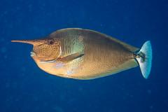 Pinocchiofish (agasfer) Tags: life fish canon marine underwater scuba diving maldives s90 carpediem 2016 intova iss2000 carpenovo