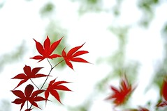 Maple leaves (JPShen) Tags: red green leaves leaf maple