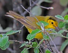 CAC037408a (jerryoldenettel) Tags: bird nm warbler 2016 passeriformes woodwarbler passerine hoodedwarbler wilsoniacitrina parulidae wilsonia setophaga northroosevelttrap rooseveltco setophagacitrina