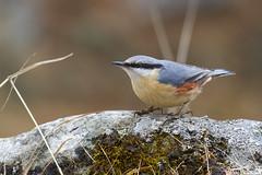 Picchio muratore (wolfman1908) Tags: nature natura bosco naturalmente lipu picchio