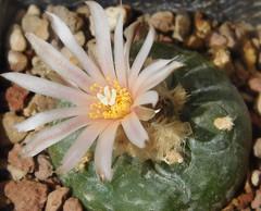 Lophophora diffusa var. koehresii (Resenter89) Tags: pink cactus white flower cacti mix grasse soil mineral cactaceae piante var kakteen succulente lophophora diffusa flowerscolors cactacee koehresii