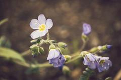 DSC_5945 (Kll at GMS) Tags: blue alaska purple wildflowers gypsymoonstudios akfineart kelliharlow