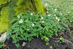 Buschwindrschen - 24-2016_Web (berni.radke) Tags: flower anemone bloom wald ranunculaceae bloosom buschwindrschen anemonenemorosa windflower blhen windrschen forestflowers hahnenfusgewchse