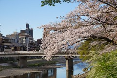 (nobuflickr) Tags: flower nature japan kyoto   20160405dsc06400 kamogawariverhananokairou