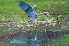 Graureiher (rieblinga) Tags: park leica berlin raubvogel dmr r8 fischreiher graureiher