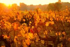couleurs automnales (AntoinePalpant) Tags: nature colors automne crpuscule vigne couchdesoleil