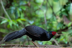Kalij_pheasant_N81_6925 (Niklas_N) Tags: china bird nature pheasant yunnan kina kalij nikkorafs500mmf4edvr