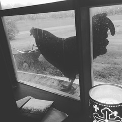 Megan Varner - Sir Crows A Lot (Missouri Agriculture) Tags: chicken window mo missouri poultry ag rooster agriculture livestock 2016 moag prideofthefarm missouriag