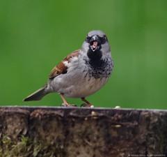 house sparrow (3) (Simon Dell Photography) Tags: city uk wild macro cute eye simon nature up birds garden photography close natural feeding wildlife sheffield images awsome dell 2016 s12 hackenthorpe