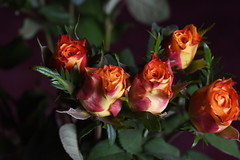 DSC_0863 Roses (PeaTJay) Tags: flowers roses plants macro nature rose gardens fauna reading flora sigma indoors micro closeups berkshire rosebuds lowerearley nikond750