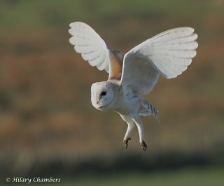 Barn Owl - Explored